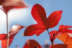 Φύλλο σφενδάμου το φθινόπωρο Στοκ Φωτογραφία