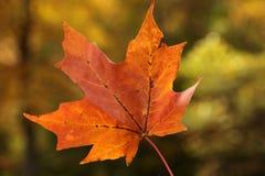 Φύλλο σφενδάμου φθινοπώρου στοκ φωτογραφίες με δικαίωμα ελεύθερης χρήσης