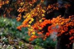 Φύλλο σφενδάμου στοκ εικόνα