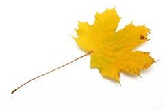 Φύλλο σφενδάμου Στοκ Φωτογραφία