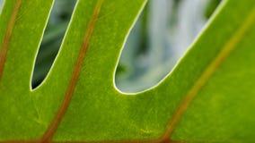 Φύλλο σύστασης Philodendron Στοκ εικόνα με δικαίωμα ελεύθερης χρήσης
