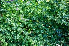 Φύλλο του αχλαδιού βάλσαμου της Apple βάλσαμου Στοκ φωτογραφία με δικαίωμα ελεύθερης χρήσης