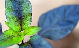 Φύλλο του φυτού πιπεριών Στοκ φωτογραφία με δικαίωμα ελεύθερης χρήσης