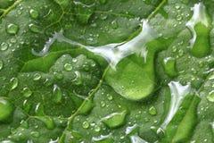 Φύλλο των σταφυλιών στις σταγόνες βροχής μεγάλο απελευθέρωσης πράσινο ύδωρ φωτογραφίας φύλλων μακρο Στοκ φωτογραφίες με δικαίωμα ελεύθερης χρήσης