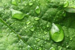Φύλλο των σταφυλιών στις σταγόνες βροχής μεγάλο απελευθέρωσης πράσινο ύδωρ φωτογραφίας φύλλων μακρο Στοκ φωτογραφία με δικαίωμα ελεύθερης χρήσης