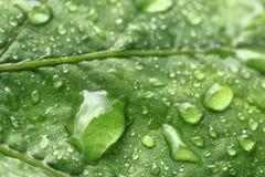 Φύλλο των σταφυλιών στις σταγόνες βροχής μεγάλο απελευθέρωσης πράσινο ύδωρ φωτογραφίας φύλλων μακρο Στοκ εικόνα με δικαίωμα ελεύθερης χρήσης