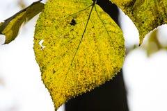 Φύλλο φθινοπώρου από το δέντρο Στοκ Εικόνες