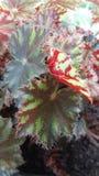 Φύλλο φραουλών Στοκ Εικόνα