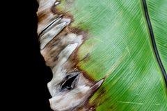 Φύλλο φτερών θανάτου Στοκ φωτογραφίες με δικαίωμα ελεύθερης χρήσης