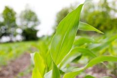 Φύλλο φυτών καλαμποκιού στον τομέα Στοκ Εικόνες