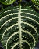 Φύλλο φυτών Aphelandra με τα λωρίδες Στοκ εικόνα με δικαίωμα ελεύθερης χρήσης