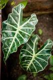 Φύλλο Araceae, φυτό στον κήπο Στοκ Φωτογραφία