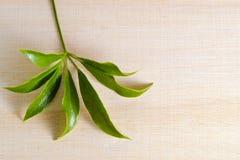 Φύλλο Araliaceae που απομονώνεται στον ξύλινο πίνακα με το κενό αντίγραφο SP κειμένων Στοκ Εικόνες