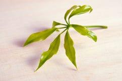 Φύλλο Araliaceae που απομονώνεται στον ξύλινο πίνακα Στοκ Εικόνα