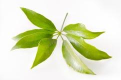 Φύλλο Araliaceae που απομονώνεται στο άσπρο υπόβαθρο Στοκ Εικόνες