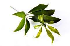 Φύλλο Araliaceae που απομονώνεται στο λευκό Στοκ Εικόνες