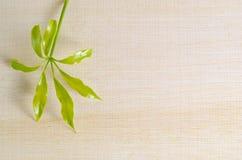 Φύλλο Araliaceae στον ξύλινο πίνακα με το κενό αντίγραφο SP κειμένων Στοκ φωτογραφία με δικαίωμα ελεύθερης χρήσης