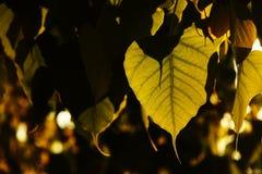 Φύλλο Bodhi στοκ φωτογραφίες