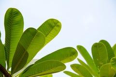 Φύλλο Frangipani, φύλλο Plumeria Στοκ εικόνες με δικαίωμα ελεύθερης χρήσης