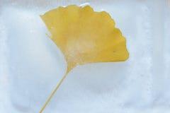 Φύλλο Ginkgo στον πάγο Στοκ Φωτογραφίες
