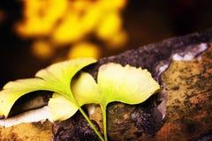 Φύλλο Ginkgo στοκ εικόνα