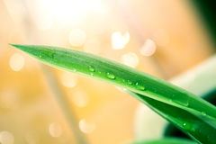 Φύλλο Gladiolus με τα σταγονίδια Στοκ Εικόνες