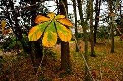 Φύλλο horse-chestnut το φθινόπωρο Στοκ Εικόνα