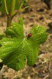 Φύλλο Ladybug και αμπέλων Στοκ Εικόνες