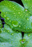 Φύλλο Lotus μετά από τη βροχή Στοκ Φωτογραφίες