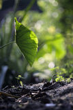 Φύλλο Lotus με το αναδρομικά φωτισμένο φως του ήλιου Στοκ Φωτογραφίες