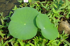 Φύλλο Lotus στη λίμνη Στοκ εικόνες με δικαίωμα ελεύθερης χρήσης
