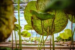 Φύλλο Lotus Στοκ Φωτογραφία
