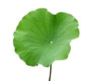 Φύλλο Lotus Στοκ εικόνα με δικαίωμα ελεύθερης χρήσης