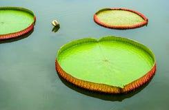 Φύλλο Lotus Στοκ Φωτογραφίες
