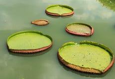 Φύλλο Lotus Στοκ Εικόνα