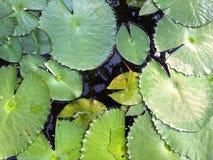 Φύλλο Lotus Στοκ Εικόνες