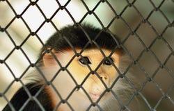 Φύλλο Monkeyin το κλουβί Στοκ Εικόνες