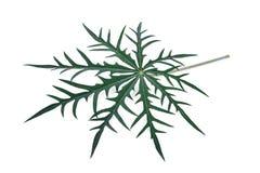 Φύλλο multifida Jatropha φυτού κοραλλιών που απομονώνεται στο άσπρο υπόβαθρο στοκ φωτογραφία