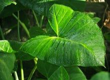 Φύλλο Philodendron Στοκ φωτογραφία με δικαίωμα ελεύθερης χρήσης