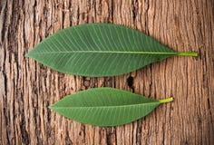 Φύλλο Plumeria Στοκ Εικόνες