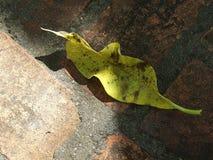 Φύλλο Plumeria Στοκ φωτογραφία με δικαίωμα ελεύθερης χρήσης