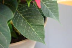 Φύλλο Poinsettia Στοκ Εικόνες