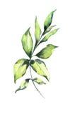 Φύλλο Watercolor στο άσπρο στοιχείο σχεδίου υποβάθρου Στοκ Εικόνες