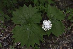 Φύλλο Wildflower ομπρελών Στοκ φωτογραφία με δικαίωμα ελεύθερης χρήσης