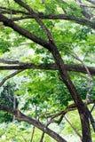 Φύλλωμα και μεγάλος κλώνος ενός πράσινου μεγάλου δέντρου Στοκ φωτογραφία με δικαίωμα ελεύθερης χρήσης