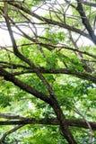 Φύλλωμα και μεγάλος κλώνος ενός πράσινου μεγάλου δέντρου Στοκ Εικόνες
