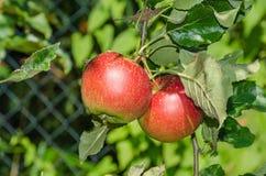 Φύλλωμα και φρούτα της Apple Στοκ εικόνες με δικαίωμα ελεύθερης χρήσης