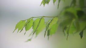 Φύλλωμα στο δέντρο στον ήλιο απόθεμα βίντεο