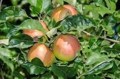Φύλλωμα της Apple και ωριμάζοντας κόκκινα φρούτα Στοκ εικόνα με δικαίωμα ελεύθερης χρήσης