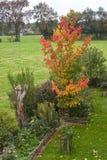 Φύλλωμα φθινοπώρου, λίγο δέντρο σφενδάμνου στον κήπο Στοκ Φωτογραφία